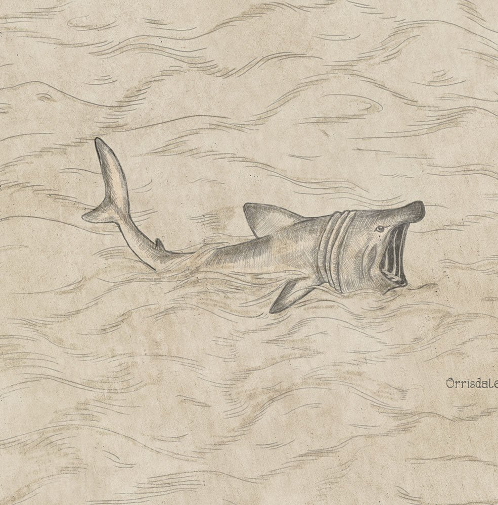 Illustration of a basking shark on the Isle of Man map.