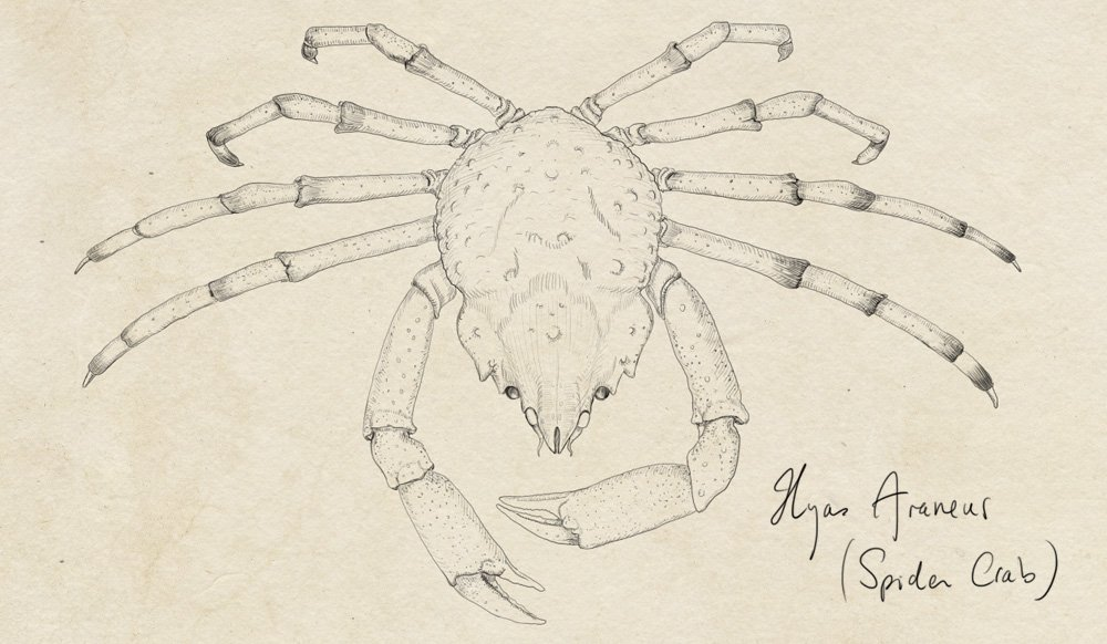 spider-crab-drawing