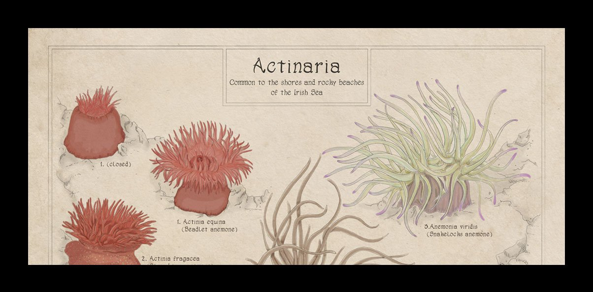 rockpool anemones of the UK, Ireland, British Isles, art print