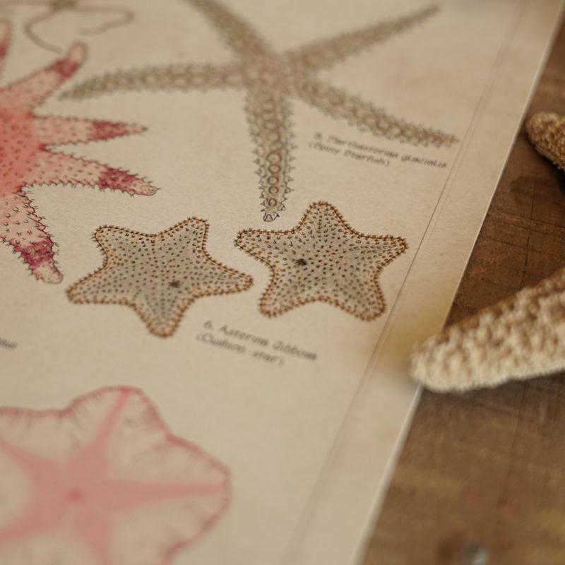 Tidepool Starfish Asterozoa finder