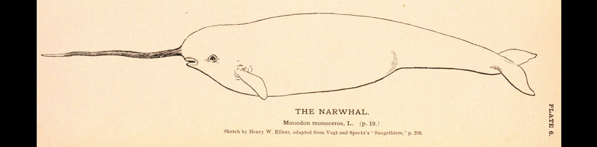 Sea unicorn or narwhal