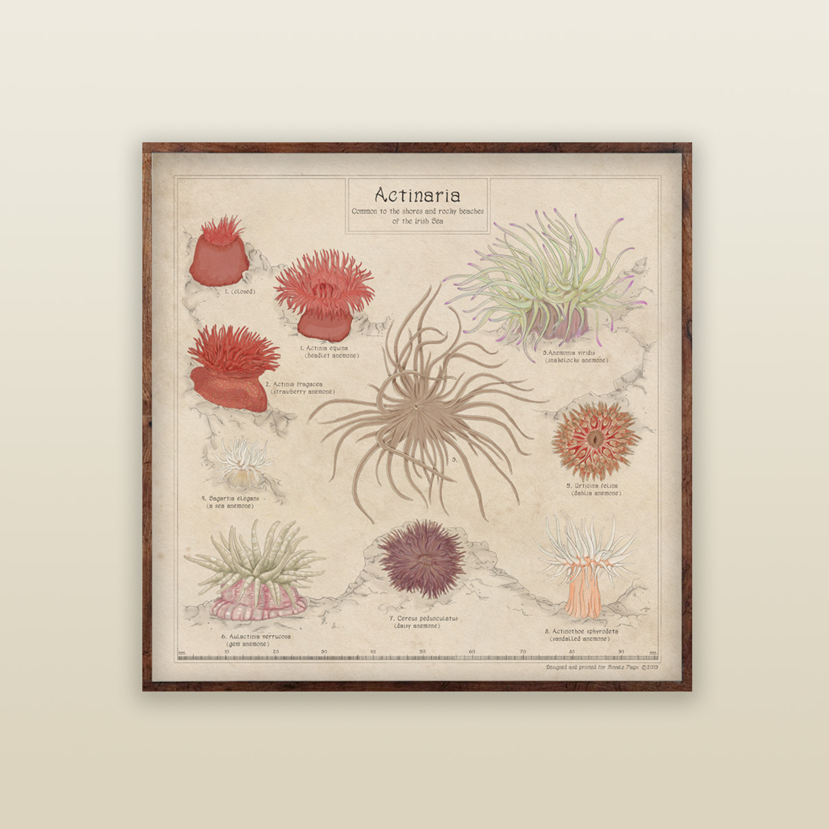 Sea Anemone Id Poster